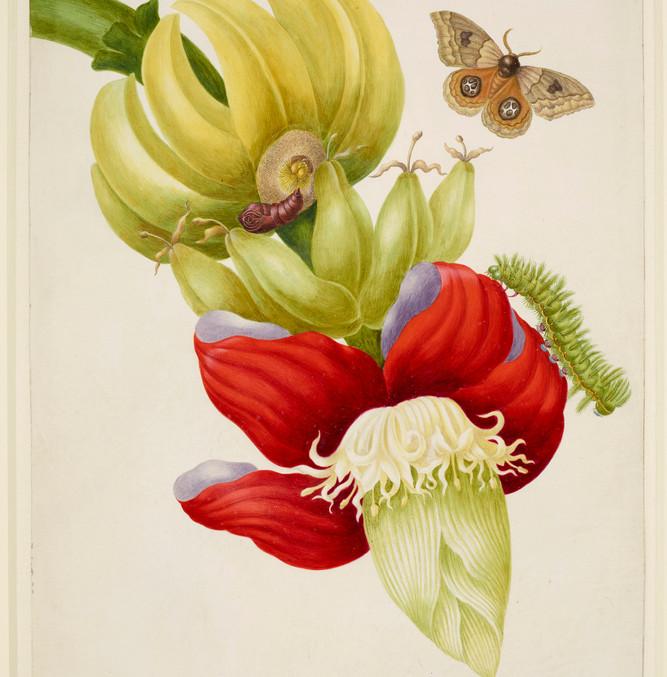 Maria, Sibylla Merian, Branch of Banana with Bullseye Moth 1702-03