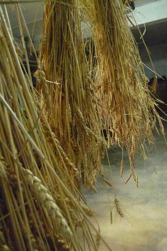 gerbe-ble-sechage-wheat-weaving-france