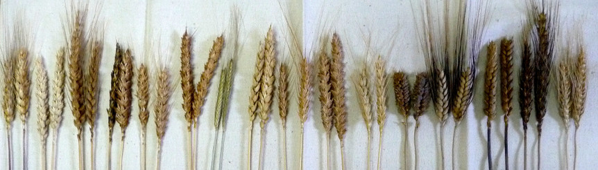 epis-bles-anciens-wheat-weaving