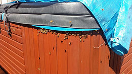 This Bee swarm Removed from Kinross