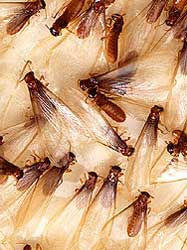 The winged alates are a sign there is a termite colony near by