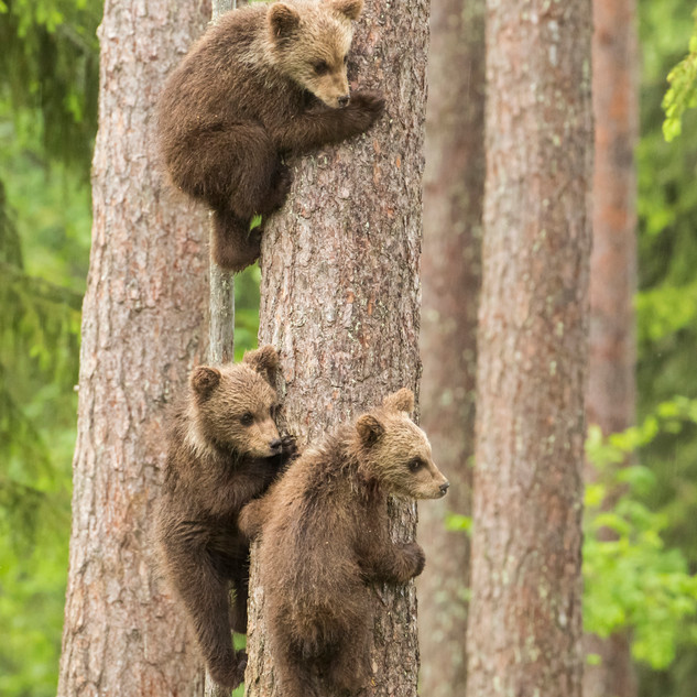 Cubs climbing for safety
