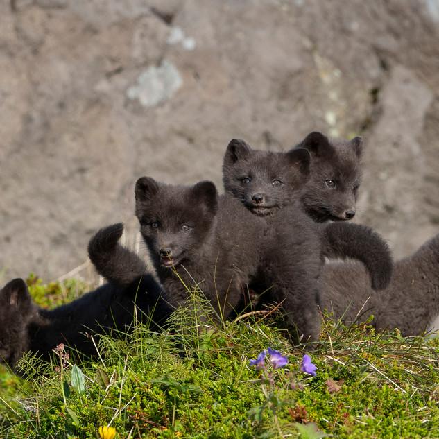 Arctic Fox Cubs playing