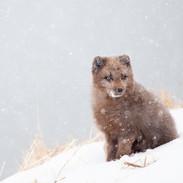 Adult Arctic Fox in Snow