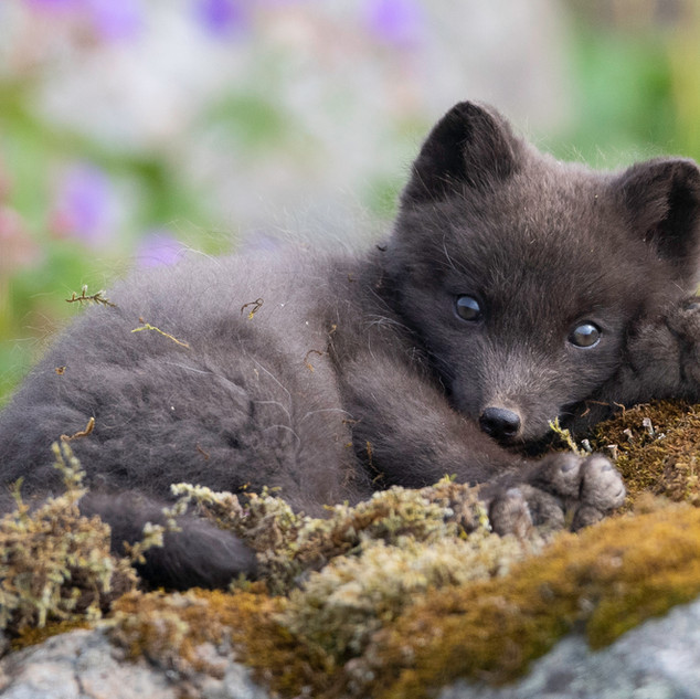 Snoozing Arctic Fox Cub