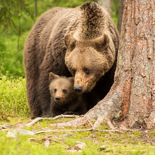 Female Brown Bear and Cub