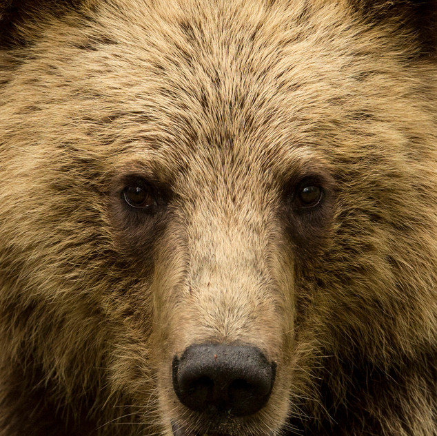 Portrait Male Brown Bear