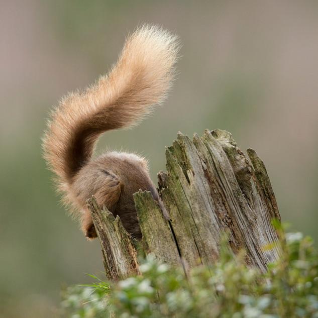 Curious Red Squirrel