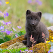 Icelandic Flower and Cub
