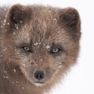 Arctic Fox Portrait