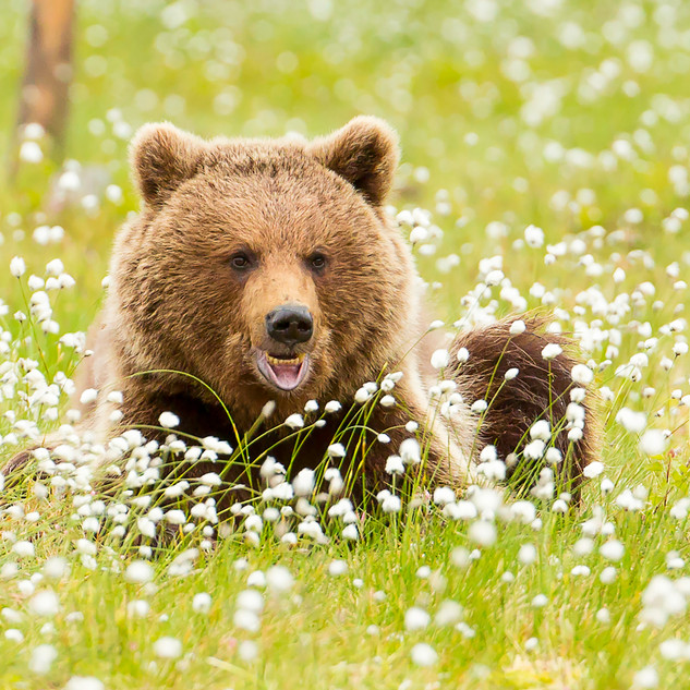 Male Brown Bear in Cotton Grass