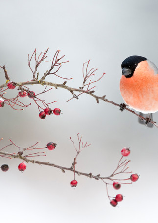 Bullfinch on Berrys