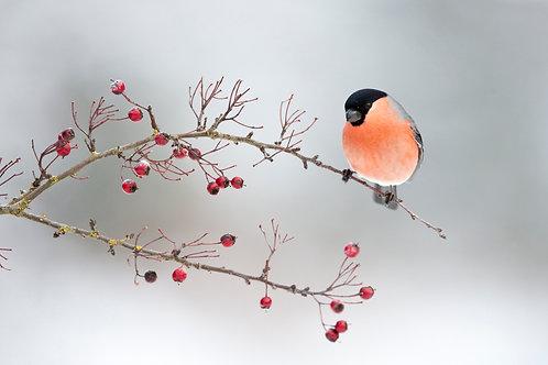 Bullfinch on Berries Chromalux Print 24x20 inch