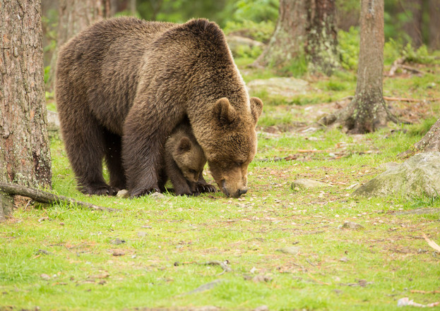Brown Bear and Cub Finland