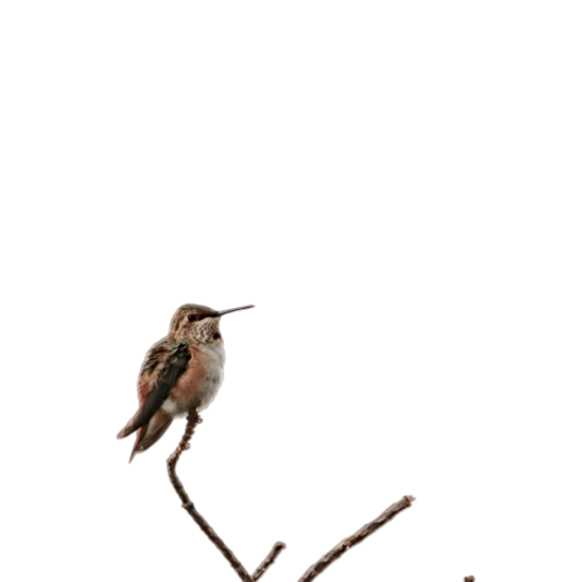 Hummingbird-removebg-preview.png