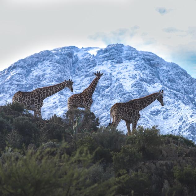 Giraffe in snow pic.jpg