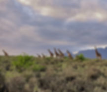 landscape giraffe.jpg