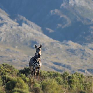 zebra with mountains.jpg