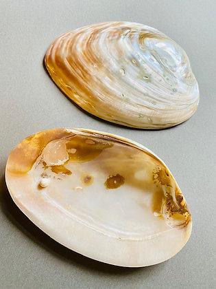 イケチョウ貝 浄化用皿