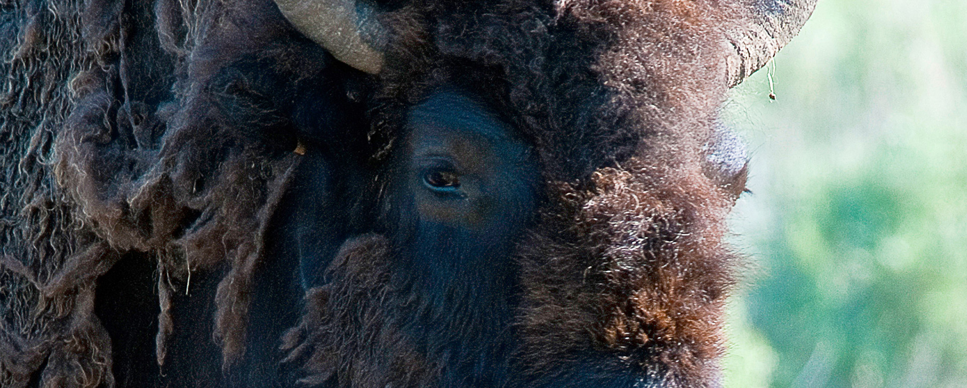 Yellowstone Park, Bison 8