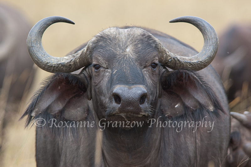Cape Buffalo 1 DSC_0058.jpg