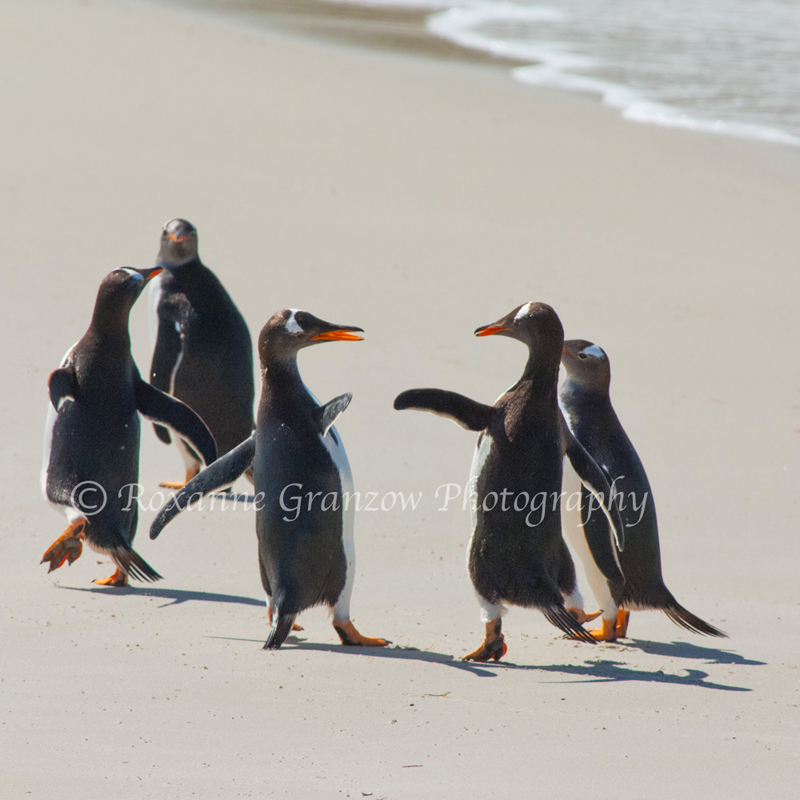 Gentoo Penguin 2 ROX3887web.jpg