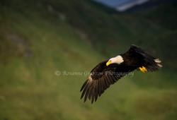 Eagle in Flight2.jpg