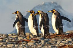 King Penguin 1 ROX8414web.jpg
