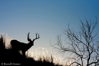 Adundant White-Tail and Mule Deer
