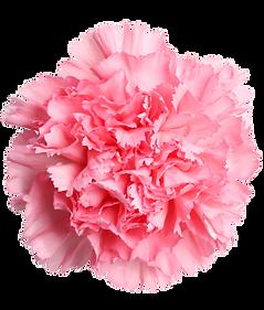 pink-carnation.png