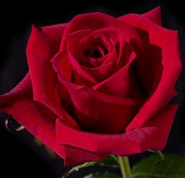 ROS-004 Cherry Love