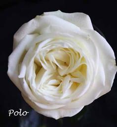 ROS-003 Polo