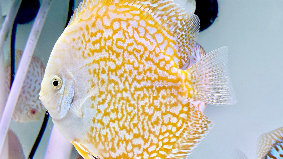 Snow Peacock 5.5in