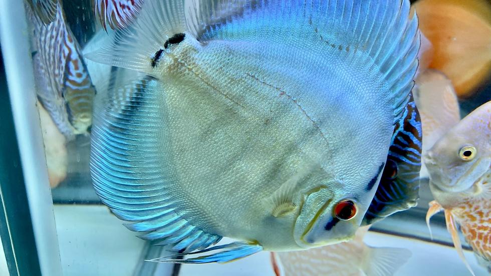 Blue Cobalt 5.75-6in