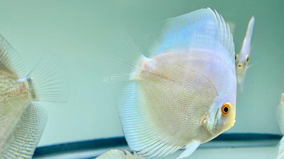 Platinum Blue Angel  3.25-3.5in