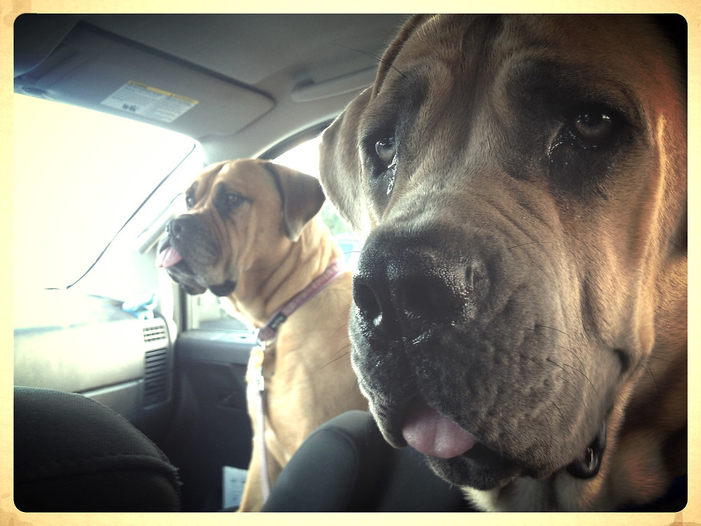 A dog for the front seat and a dog for the back.