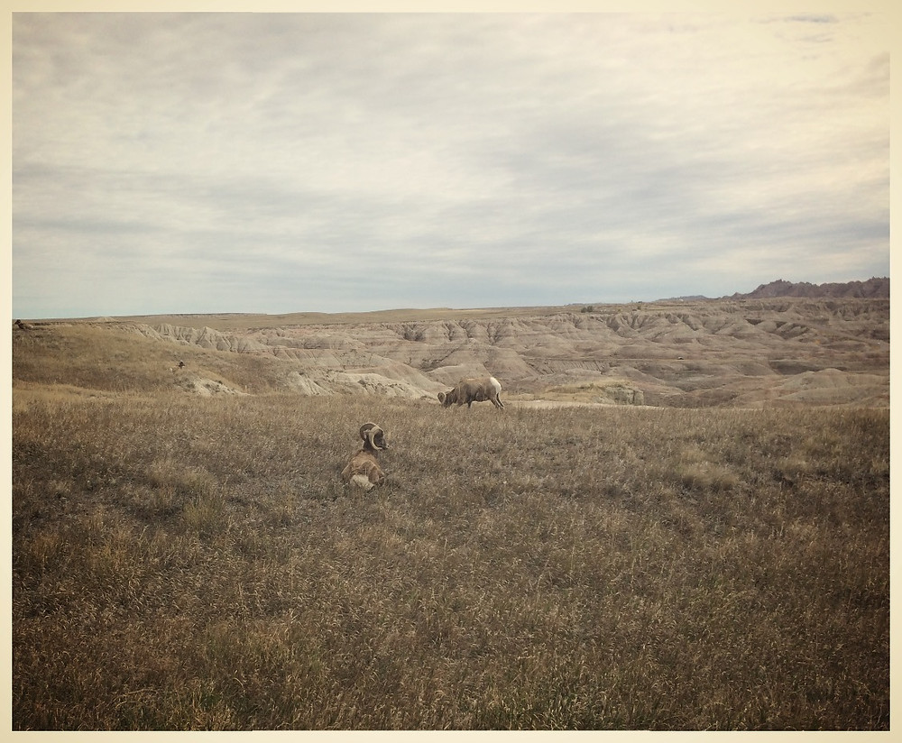 Our friends, the Bighorn Sheep.