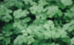 Clover Leaves