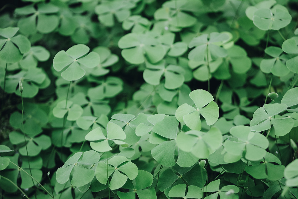 four leaved clovers