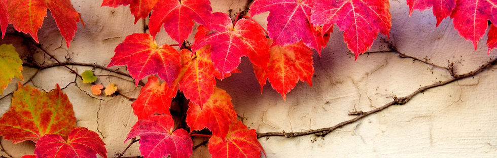 wide-red-ivy.jpg