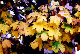 Autumn leaves, golden and green.
