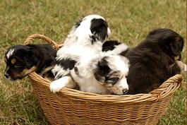 Four Australian Shepherd puppies in a basket.