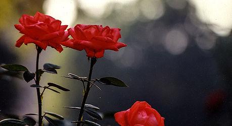 Roses-Duke-Landscape.jpg