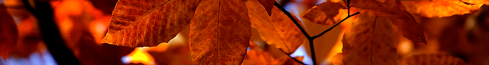 Annes golden leaves.png