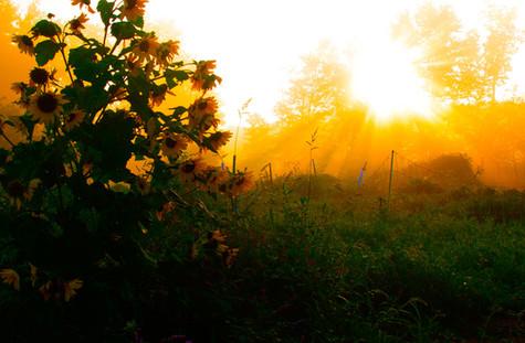 sun-flower-rise-7.jpg