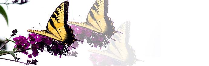 wide-butterfly-5-sfw.jpg