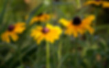 Black-eyed Susans in the summer.
