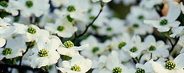 Dogwoods patient and accepting.