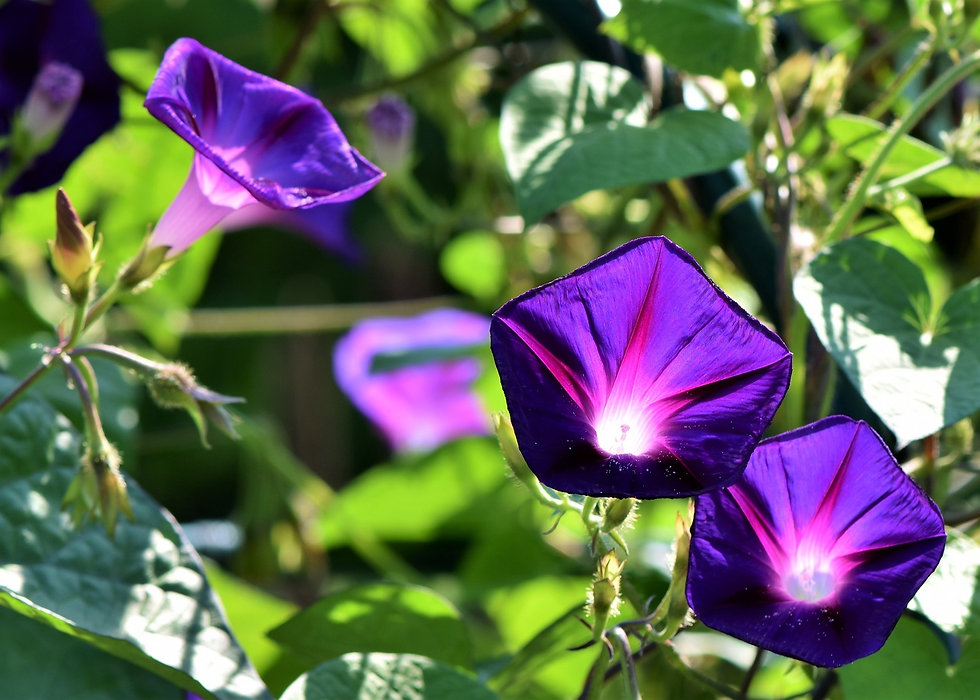 morning-glories-deep-purple.jpg