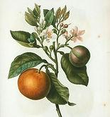 citrus-bigaradia-violacea-citronier-biga